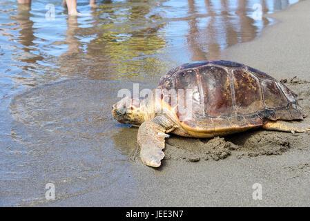 Tortue de mer loggerhead (Caretta caretta) publié dans la nature Banque D'Images