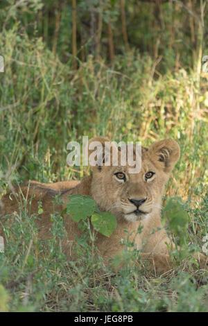 Lioness (Panthera leo) lying in grass en Delta de l'Okavango au Botswana Banque D'Images