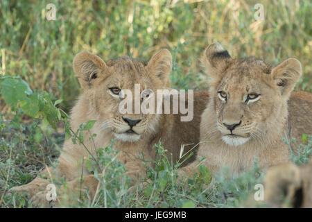 Deux lionceaux mignons lying in grass dans la zone sur l'Île Mombo chefs dans le Delta de l'Okavango au Botswana