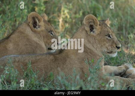Deux lionnes (Panthera leo) dans le Delta de l'Okavango au Botswana Banque D'Images