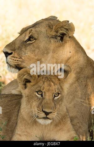 Fierté de Lion Banque D'Images