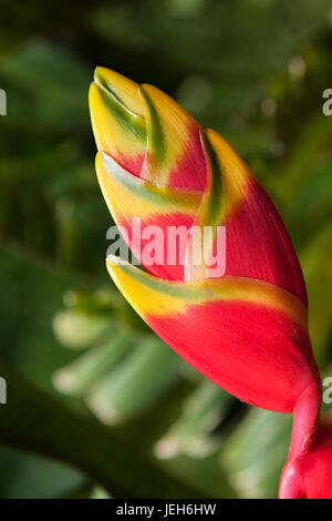 Close-up of lobster claw-heliconia flower; Maui, Hawaii, United States of America Banque D'Images