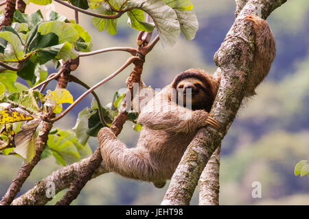 Brown-throated trois-toed sloth image prise au Panama Banque D'Images
