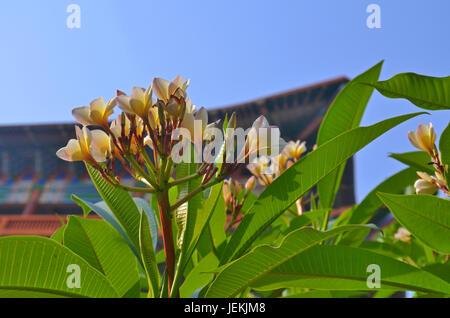 Fleur de frangipanier Plumeria tropical et toit monastère bouddhiste à Lumbini Banque D'Images