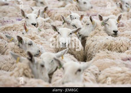 Ovis aries. Troupeau de moutons dans un enclos en attente pour la tonte au Royal Show 2017 trois comtés. Malvern, Banque D'Images