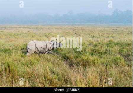 Le rhinocéros indien (Rhinoceros unicornis) marcher dans l'herbe de l'éléphant, le parc national de Kaziranga, Assam, Inde