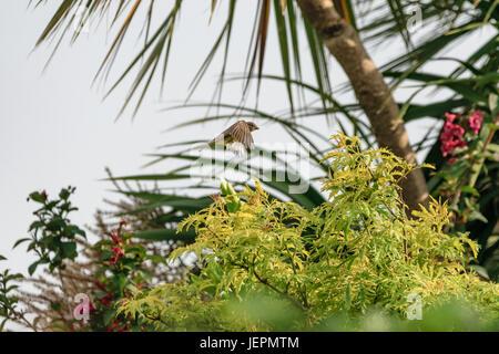 Moineau volant femelle oiseau pris dans motion voler. Banque D'Images