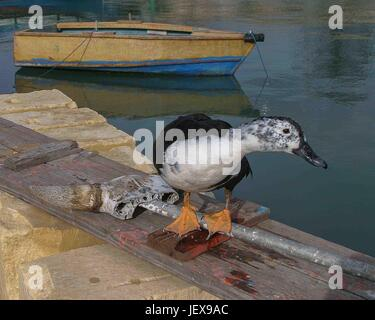 Marsaxlokk, Malte. 27 Sep, 2004. Promenades sur un canard dans le port du traditionnel pittoresque village de pêcheurs Banque D'Images