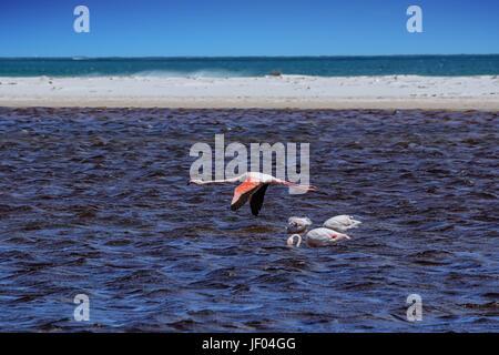 Un flamant rose volant à basse altitude au-dessus d'une lagune dans le sud de l'Afrique Banque D'Images