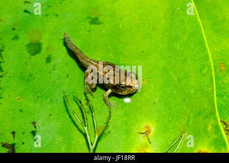 Grenouillette de la grenouille rousse (Rana temporaria) sur un nénuphar dans un étang de jardin, East Sussex, UK Banque D'Images