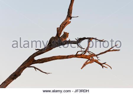 Un léopard, Panthera pardus, se reposant dans un arbre haut, réchauffant avec les derniers rayons de soleil. Banque D'Images