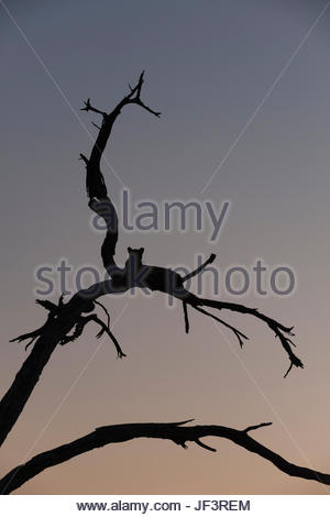 Un léopard, Panthera pardus, se reposant dans un arbre au crépuscule. Banque D'Images