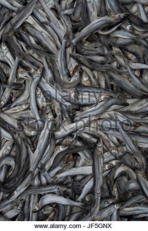 L'eulakane Thaleichthys pacificus, morts, sont laissés à pourrir pour la fabrication de l'huile d'eulakane. Banque D'Images