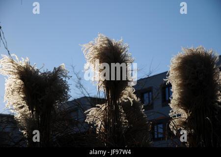 Miscanthus sinensis, herbe d'argent chinois Banque D'Images