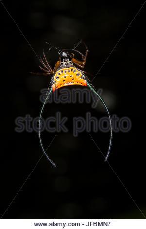 Un crabe épineux, Gasteracantha orbweaver arcuata, tête en bas sur une fougère dans la forêt tropicale. Banque D'Images