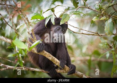 Fuligineux, sci.name; singe hurleur Alouatta palliata, au parc national de Soberania, République du Panama. Banque D'Images