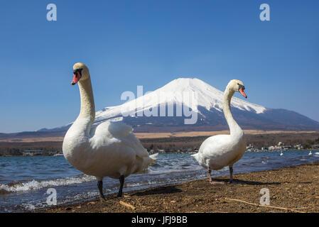 Le Japon, le lac Yamanakako, cygnes en face du Mont Fuji Banque D'Images