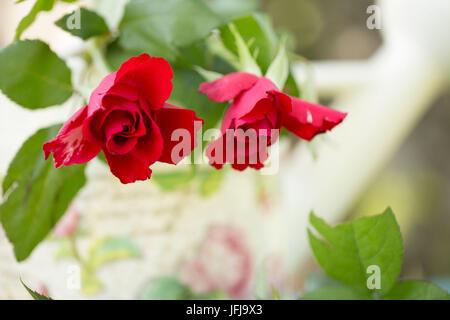 Avec des roses rose arrosoir à motifs, à l'extérieur dans le jardin Banque D'Images