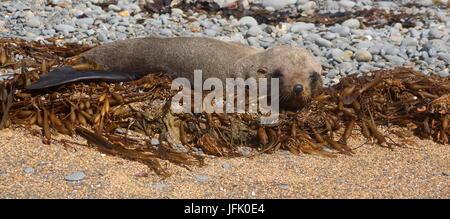 Lion de mer,Plage de Bushy, Nouvelle-Zélande Banque D'Images