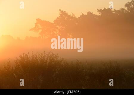 Lever du soleil d'été avec brouillard dans une lande de saules et de pins. Klein, Bylaer Barneveld (Pays-Bas, Europe Banque D'Images