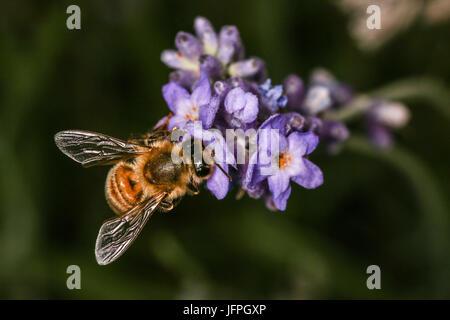 Close up Abeille la collecte du pollen d'une fleur sur une lavande, bush Shepperton, Angleterre, Royaume-Uni Banque D'Images