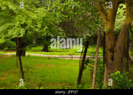 L'oiseau national de l'Inde dans l'air extérieur Peacock green nature parc ou forêt en mois de juin 2017 après la pluie