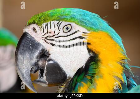 Blue-and-yellow macaw (Ara ararauna), également connu sous le nom de bleu et or ara. Close-up of face. Les yeux Banque D'Images