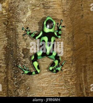 Le livre vert et noir poison dart frog (Dendrobates auratus), Quepos, Costa Rica Banque D'Images