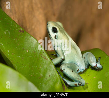 Dyeing poison dart frog Banque D'Images
