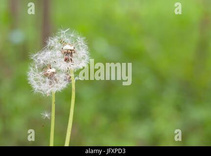 Les pissenlits avec deux graines dans le soleil du matin vent frais sur fond vert. Banque D'Images