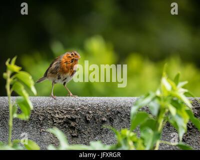 Un petit Robins européenne debout sur un mur de brique avec un fond vert Banque D'Images