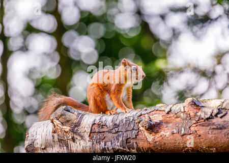 L'Écureuil roux (Sciurus vulgaris) debout accroupi sur un journal, British Wildlife Centre, Newchapel, Lingfield, Surrey, UK