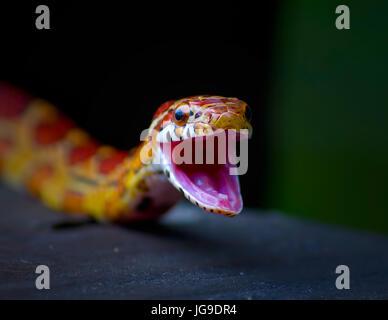 Un petit Red Rat Snake ouvre grand la bouche c'est dans les Everglades de Floride dans ce portrait. Couleuvre obscure ne sont pas les serpents venimeux.