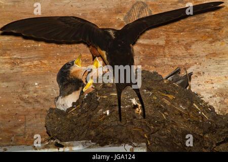 Hirondelle nourrir les jeunes dans un nid dans une grange Banque D'Images