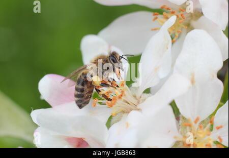 Abeille à miel (Apis mellifera) et recueillir le nectar de fleur de printemps de Malus domestica 'Katy', pommier Banque D'Images