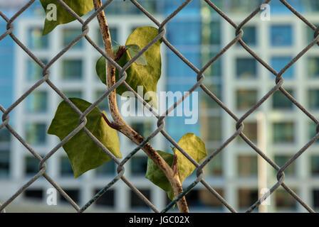 Une branche de lierre grimpe sur la clôture avec le bâtiment en arrière-plan, San Francisco, États-Unis