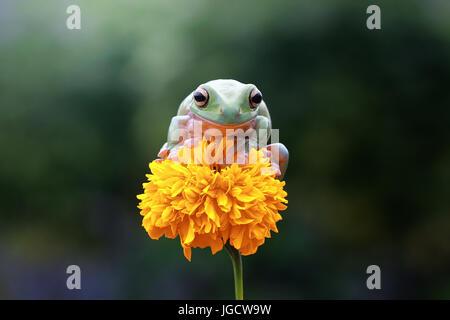Rainette Dumpy assis sur une fleur, l'Indonésie Banque D'Images