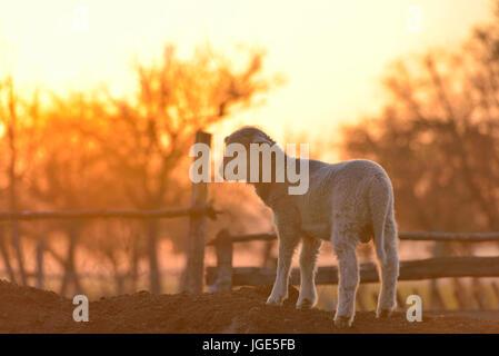 Peu d'agneau nouveau-né au printemps dans la lumière au coucher du soleil Banque D'Images