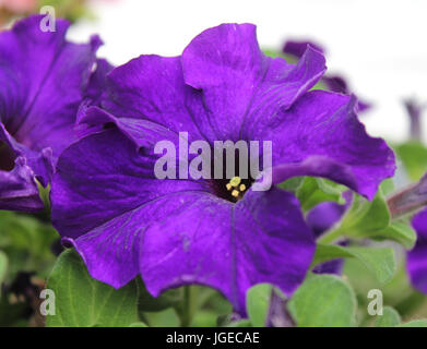 Le quartier animé de fleur d'un violet profond pétunia, croissante à l'extérieur l'été. Banque D'Images