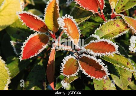 Feuilles de couleur avec le gel en hiver Banque D'Images