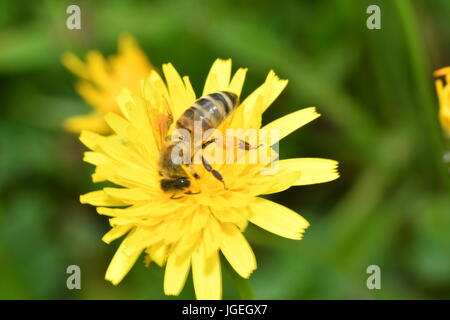 Le polinates macro d'abeille sur la fleur