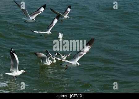 A Flock of seagulls connu comme Gangchil survolant le fleuve Naf. Teknaf, Cox's Bazar, Bangladesh Banque D'Images