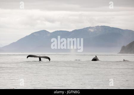 Un groupe de baleines à bosse, Megaptera novaeangliae, nager dans l'eau avoir violé la queue et les nageoires dorsales. Banque D'Images