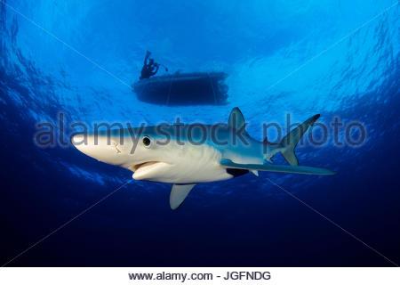 Un requin bleu nage dans l'océan Atlantique. Un plongeur dans un bateau est visible ci-dessus. Banque D'Images