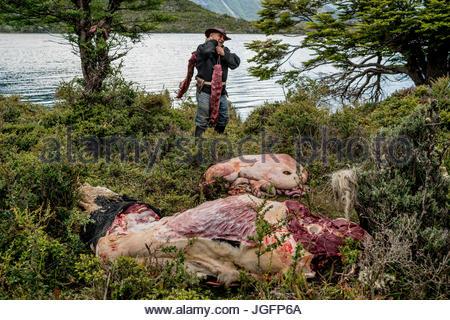Un bagualero, un cow-boy qui, de l'élevage sauvage capture prend les filets à partir de la première des taureaux Banque D'Images