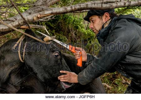 Un bagualero, un cow-boy qui, de l'élevage sauvage capture une scie à cornes de vache pour protéger son cheval contre Banque D'Images