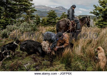 Bagualeros, cow-boys qui, de délier l'élevage sauvage capture d'un arbre, une vache vache sauvage qui a été pris Banque D'Images