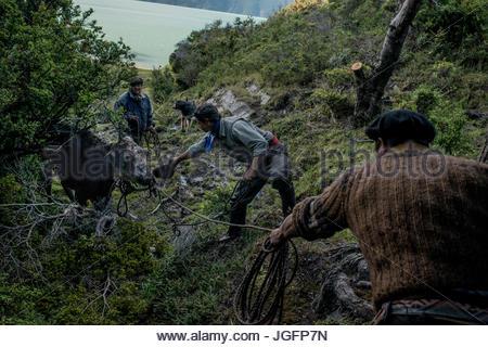 Bagualeros, cow-boys qui, tirer l'élevage sauvage capture une vache sauvage à un arbre pour attacher sa. Banque D'Images