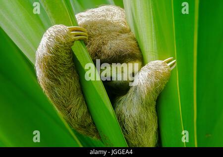 La faune paresseux tridactyle image prise au Panama Banque D'Images