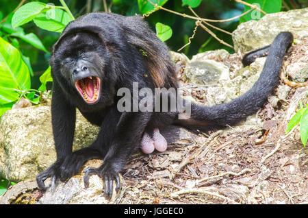 La faune singe hurleur image prise au Panama Banque D'Images